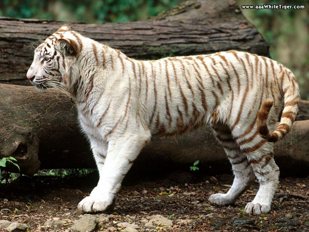 black tigers animal - photo #13
