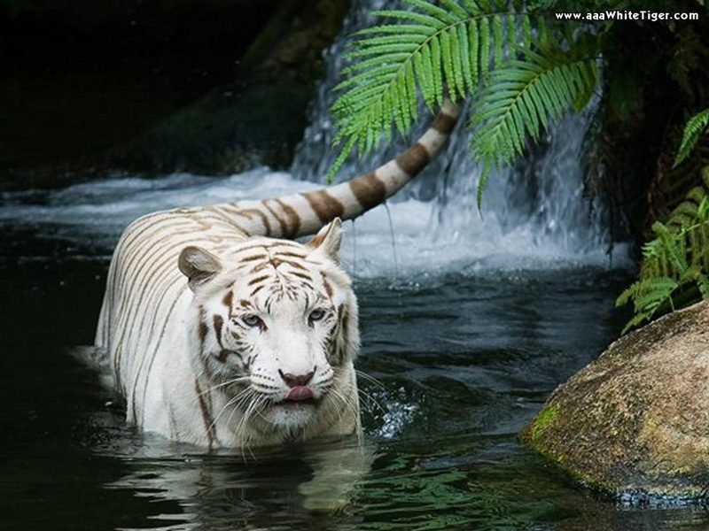 Tiger Art Wallpaper Jpg 960 800: Cute White Tiger Wallpaper
