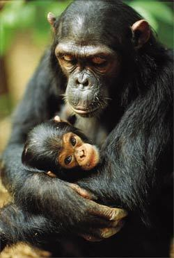 Animals wallpaper entitled chimpanzee
