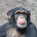 chimpanzee - animals photo