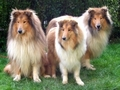 collies - mini-colley photo