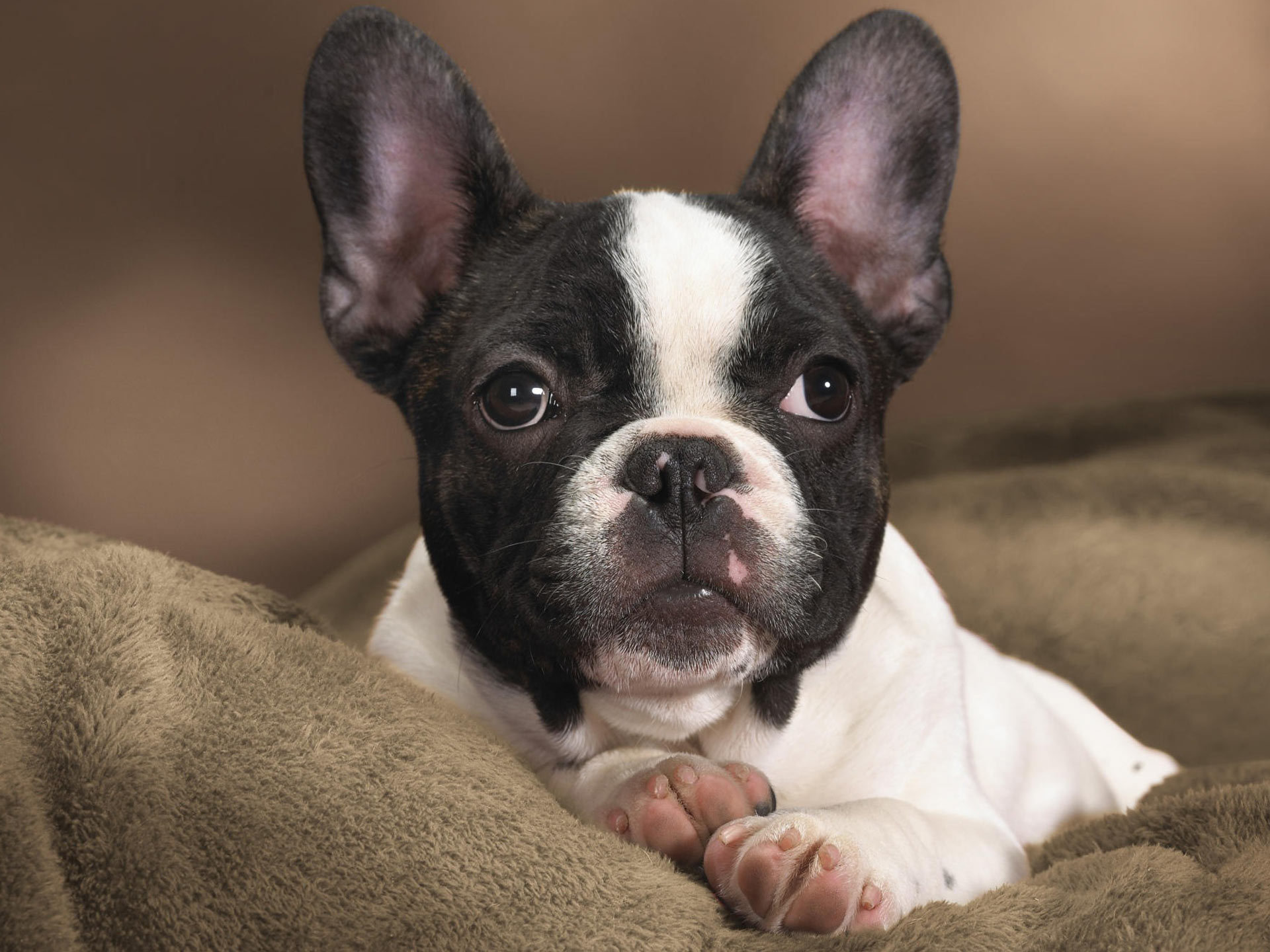 funny male Boston Terrier posing on the bed for picture