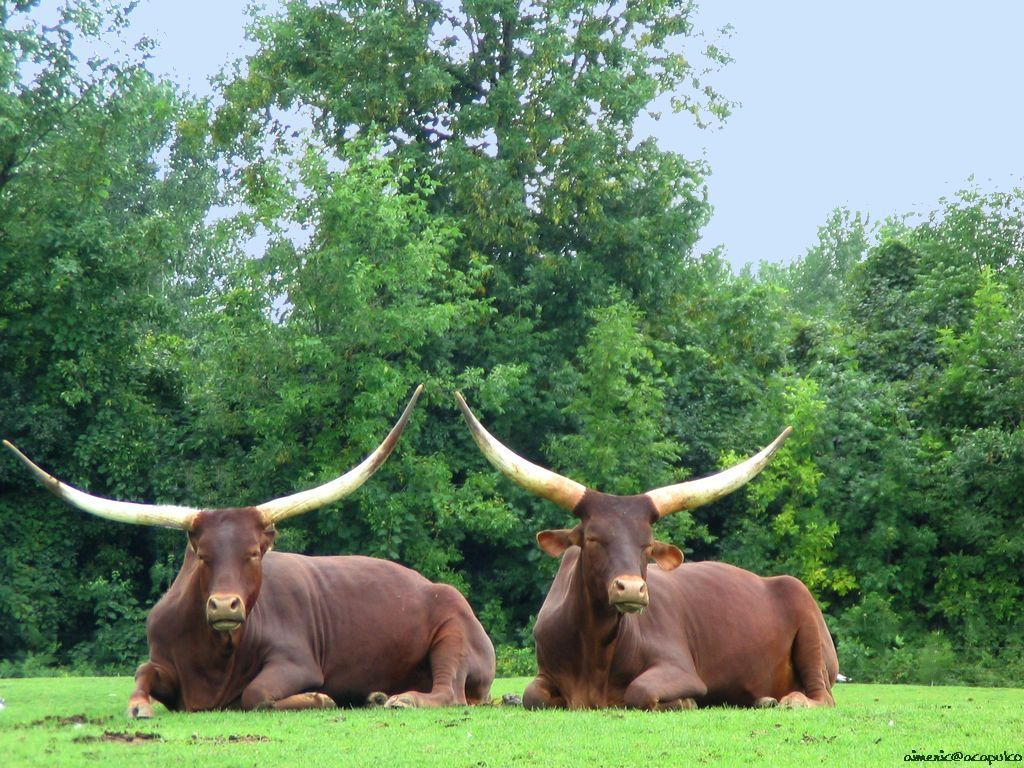 Buffalo  The Animal Kingdom Wallpaper 13288540  Fanpop