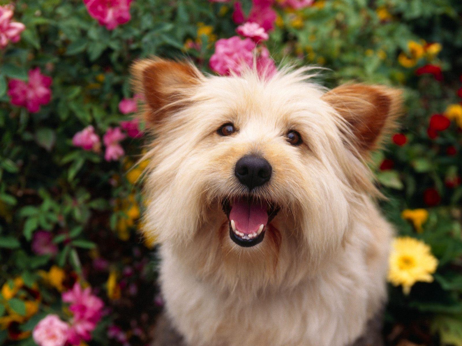 Cairn Terrier - Dogs Wallpaper (13248618) - Fanpop