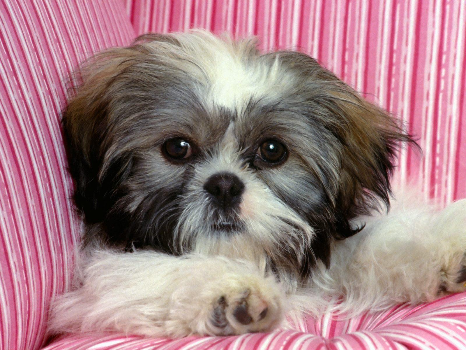 Cairn Terrier - Dogs Wallpaper (13248625) - Fanpop