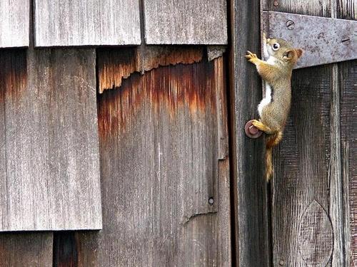 backenhörnchen, chipmunk, streifenhörnchen
