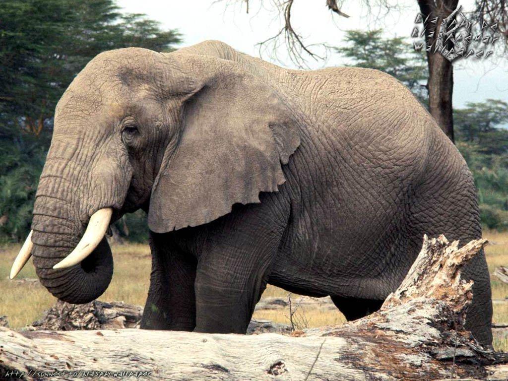 elephant animal kingdom fanpop animals elephants african facts vet species safari