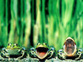 Frogs - the-animal-kingdom wallpaper