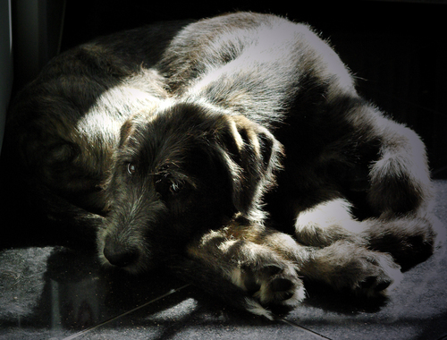 irish wolfhound, ireland wolfhound