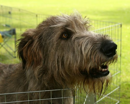 giống chó của nga irish, irish wolfhound