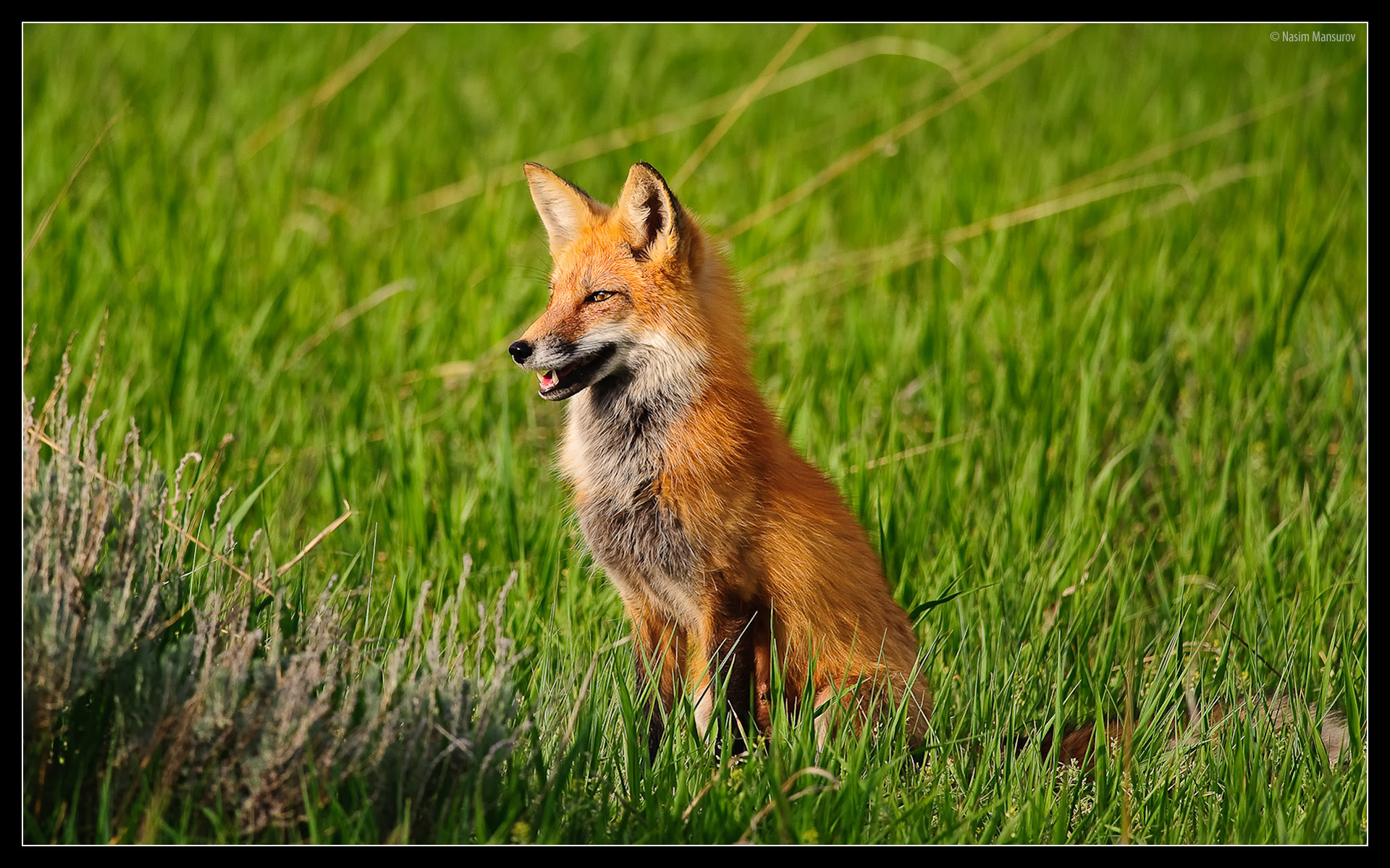 red fox hd wallpapers - photo #13