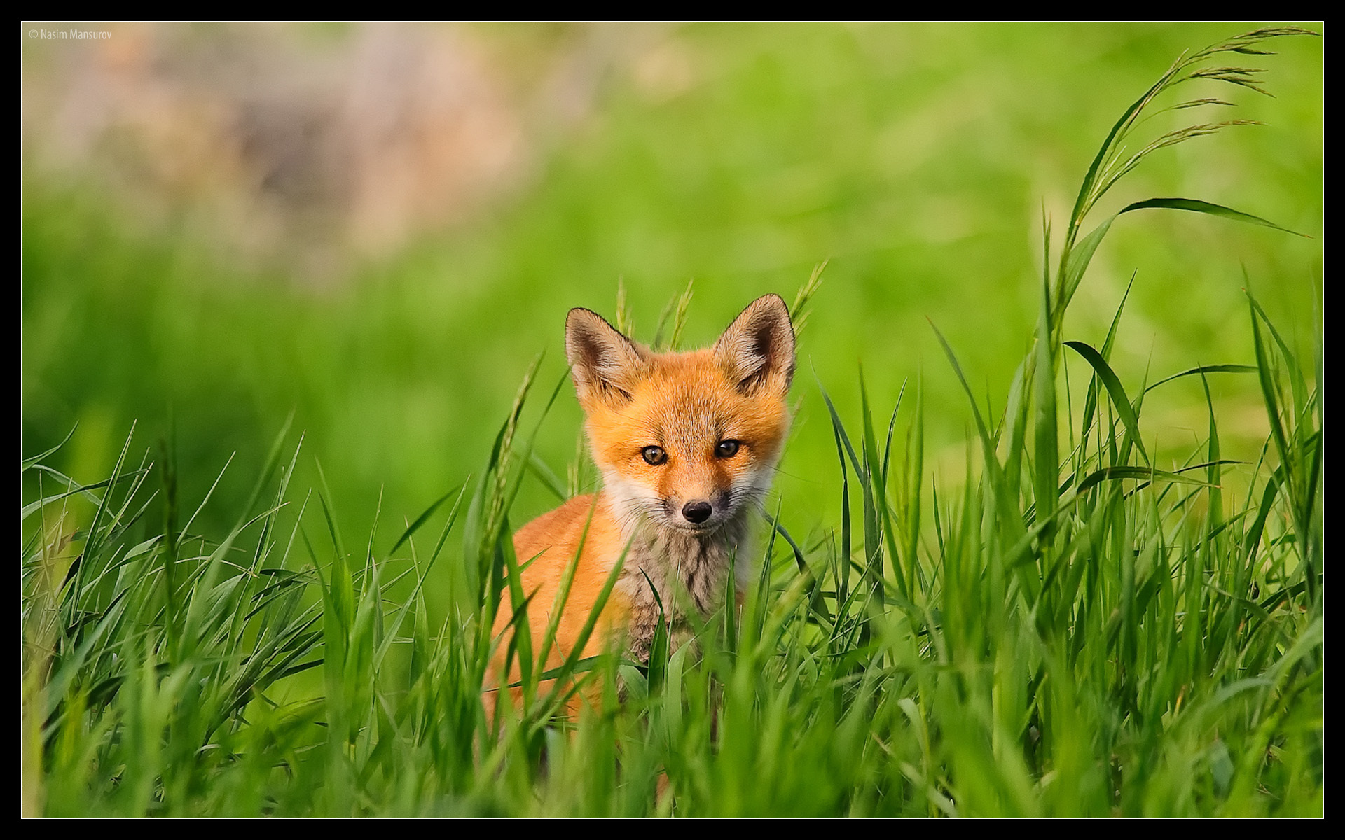 red fox hd wallpapers - photo #29