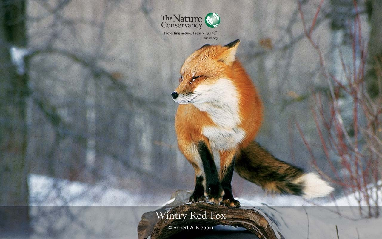 funny wallpaper red fox - photo #29