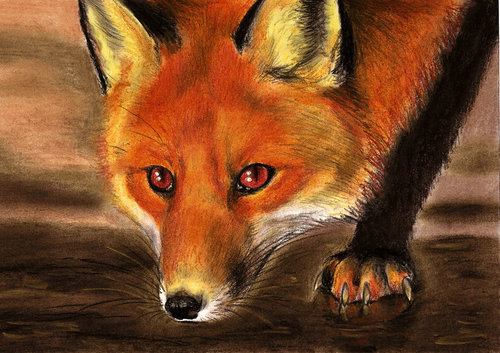 Red fox, mbweha