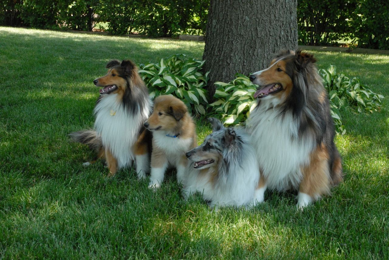 Rough Collie - Dogs Photo (13248885) - Fanpop fanclubs