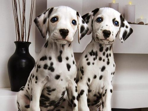 Sweet Dalmations