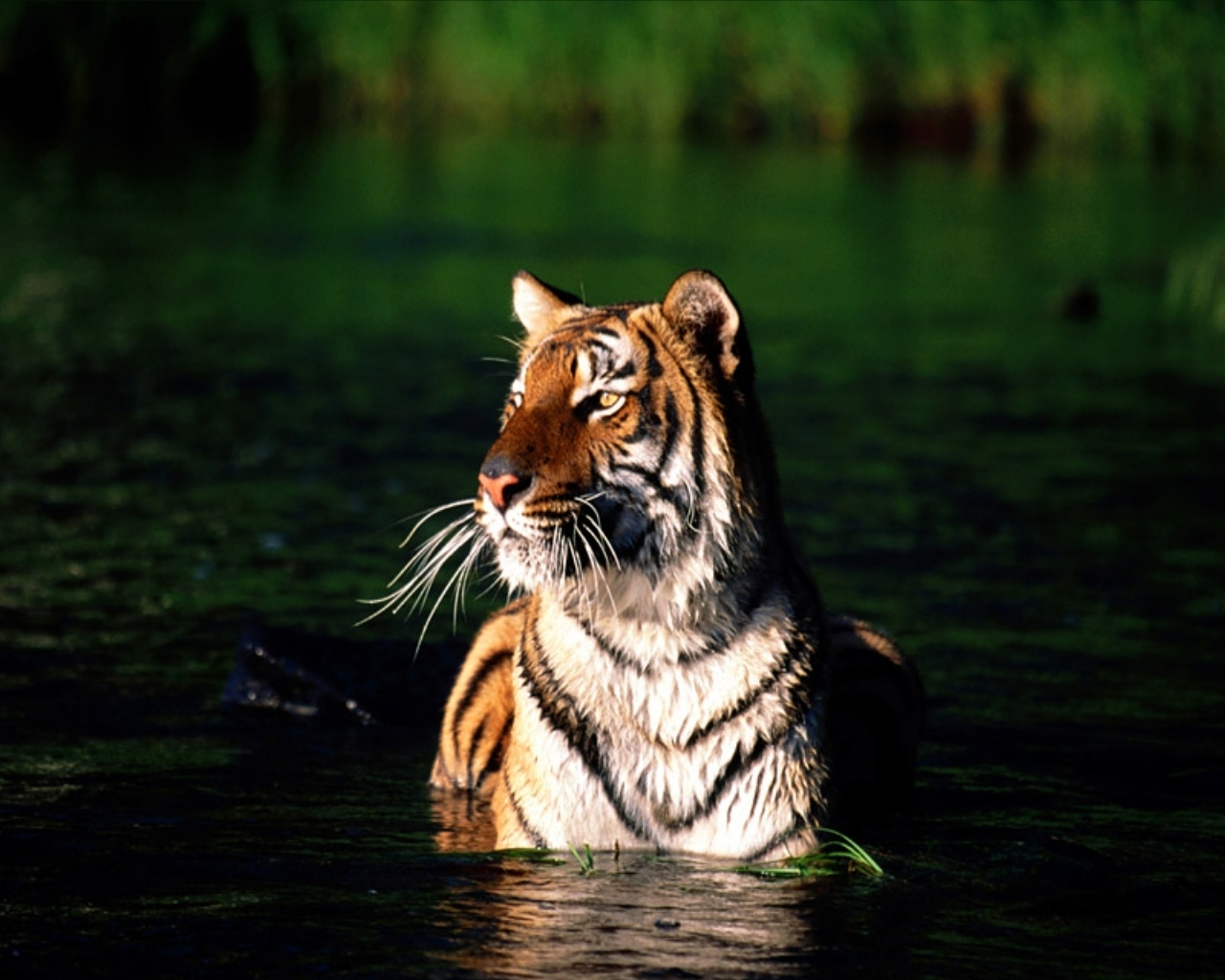 The animal kingdom tigers