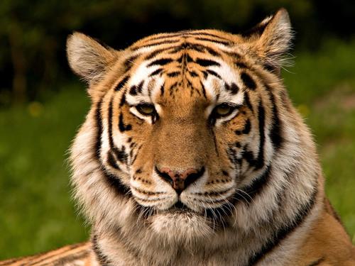 mga tigre