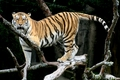 Tigers - the-animal-kingdom photo