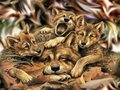 Wolf - the-animal-kingdom wallpaper