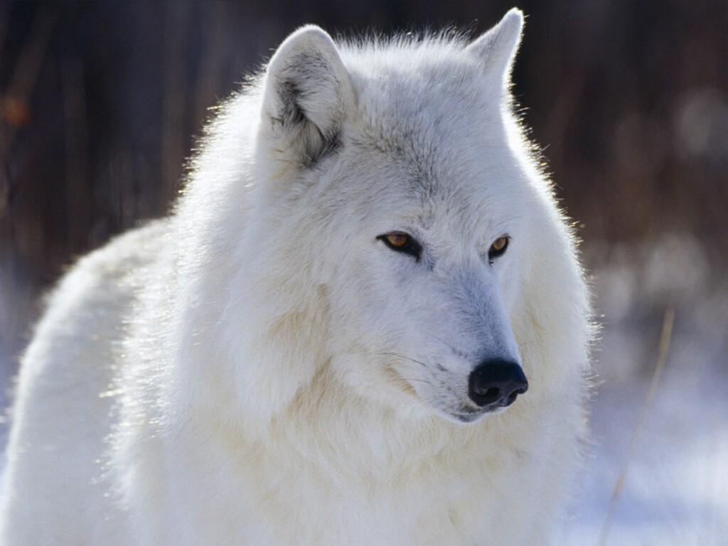 The animal kingdom wolf