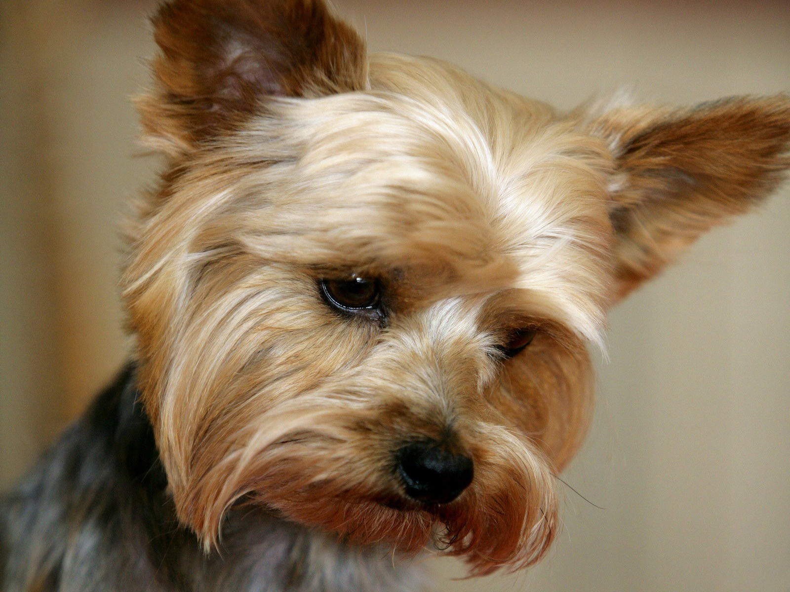 Cute Dog Yorkie Yorkshire Terrier