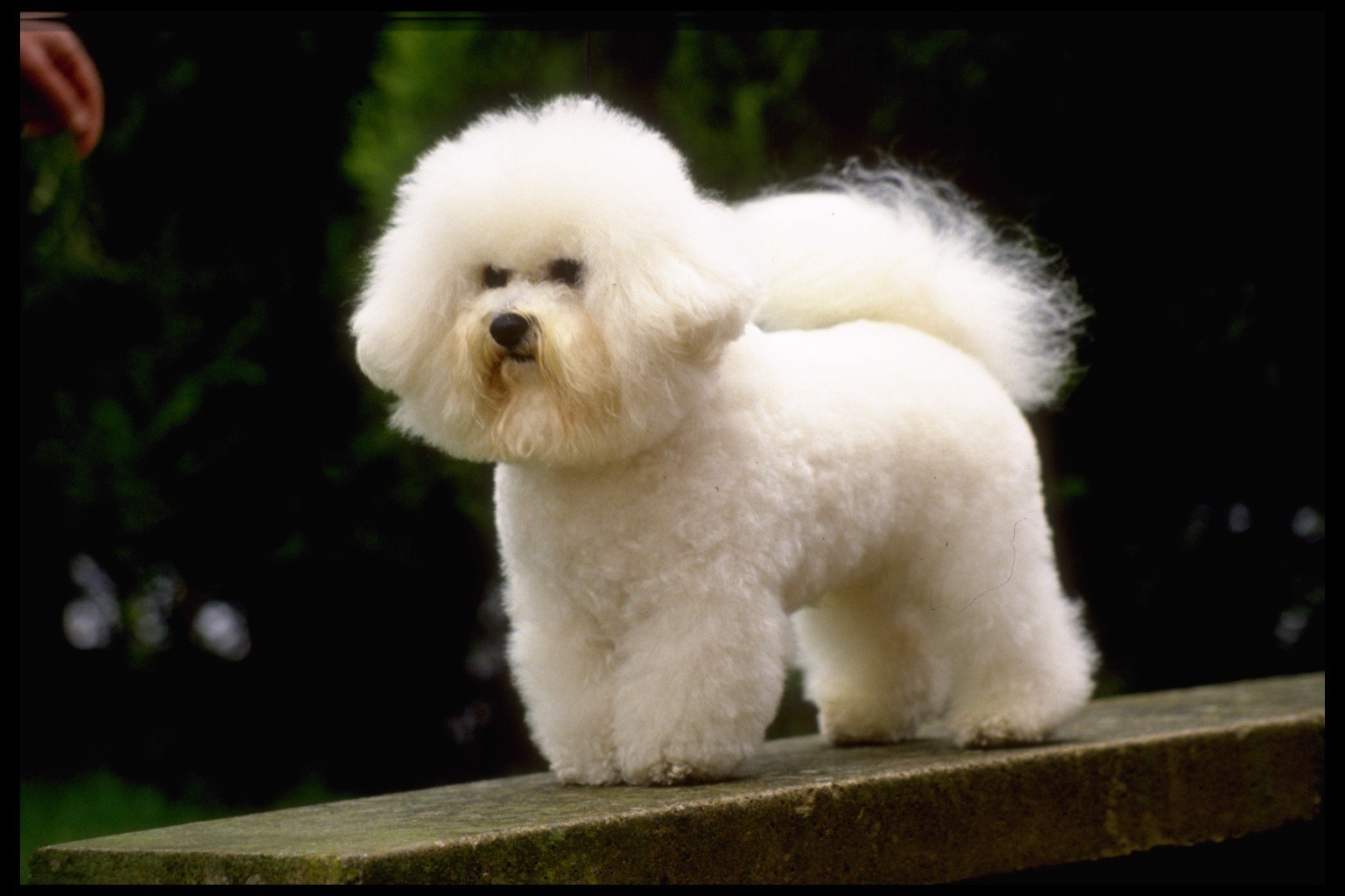 bichon frise  Dogs Photo 13248846  Fanpop