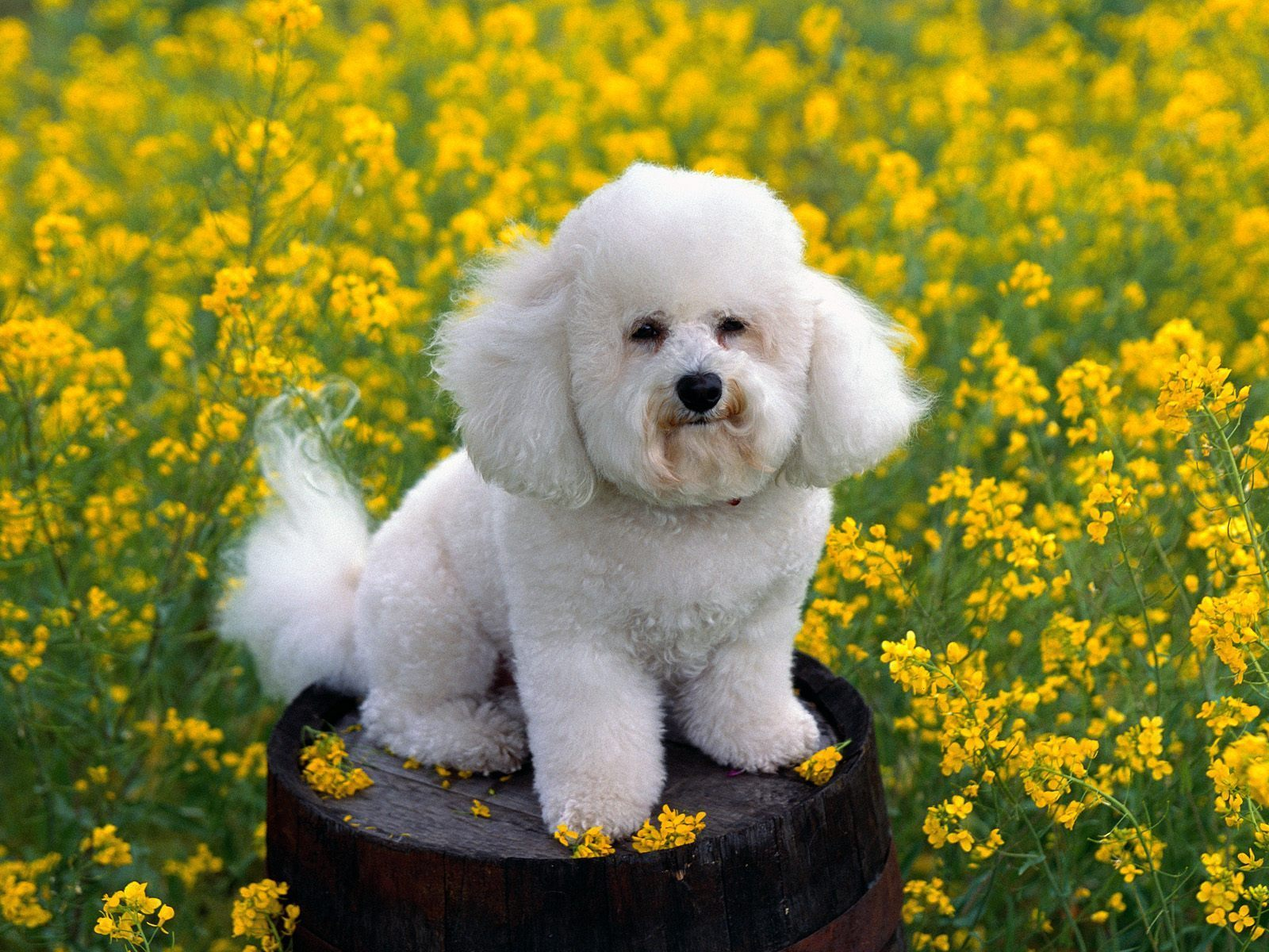 bichon frise - Dogs Wallpaper (13248856) - Fanpop