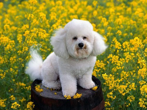 cachorros wallpaper called bichon frise