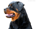 Beautiful Rottweiler - rottweiler wallpaper