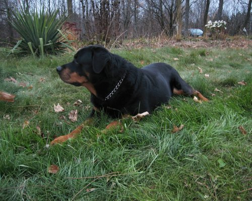 Beautiful rottweiler, रोट्विइलर