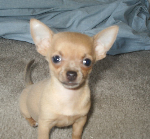 Cute Chihuahuas - Chihuahuas Photo (13347823) - Fanpop fanclubs