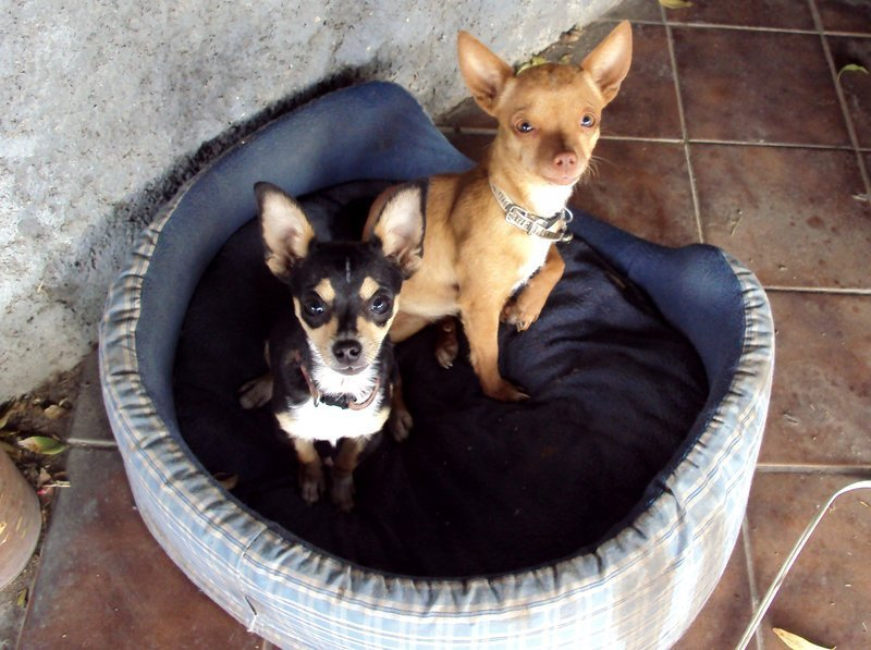 Cute Chihuahuas - Chihuahuas Photo (13347838) - Fanpop fanclubs