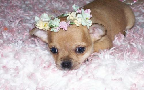 Chihuahuas 壁紙 titled Do I look Cute ?