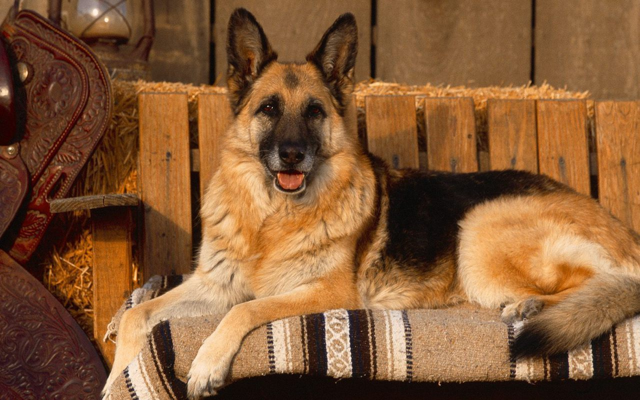 german shepard Dog supplies from dogcom includes a huge variety of dog supplies & products at wholesale discounted prices dogcom satisfies your dog supplies & dog information needs.