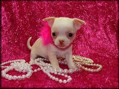 Glamour Pup