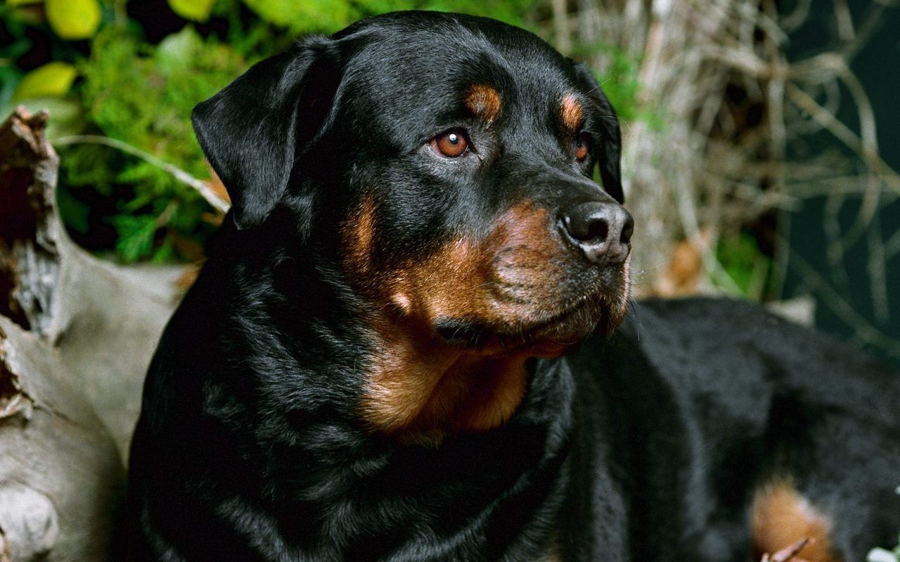 Rottweiler  Dogs Wallpaper 13376911  Fanpop