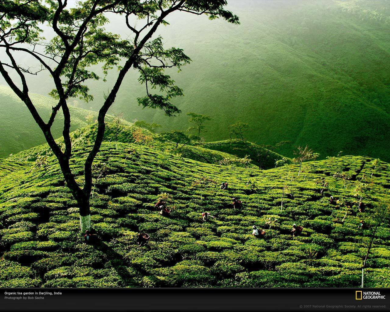 Tea Garden, India - Tea Wallpaper (13337665) - Fanpop fanclubstea garden