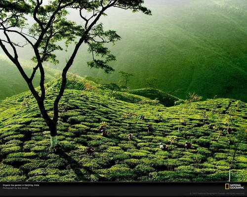 Tea Garden, India - tea Wallpaper