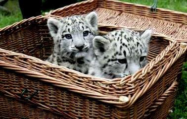 snow leopard cubs in Tier park Zoo in Berlin, Germany
