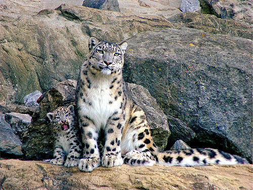 Snow Leopards Images Leopard With Her Cub Wallpaper And Background Photos
