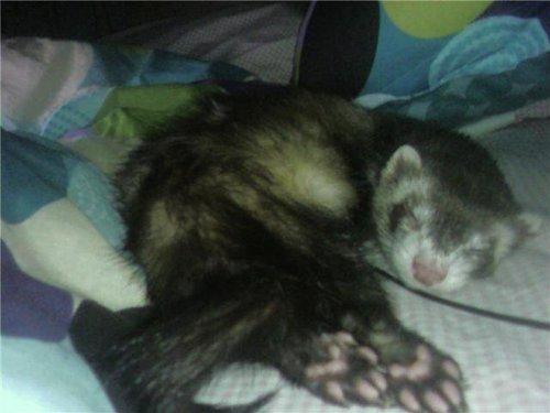 My ferret, chororo-kaya Miku. <3