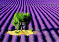 a lavender farm - spring photo