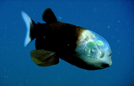 bareleye poisson