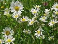 daisies - spring photo