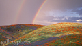 rainbows over a bed of flowers - spring photo