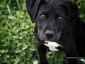 Black Labrador Retriever puppy.