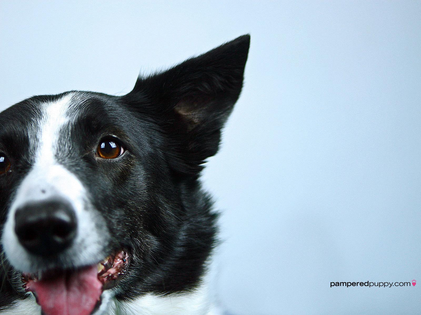 Border Collie Service Dog