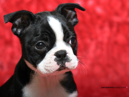 Boston terrier welpe