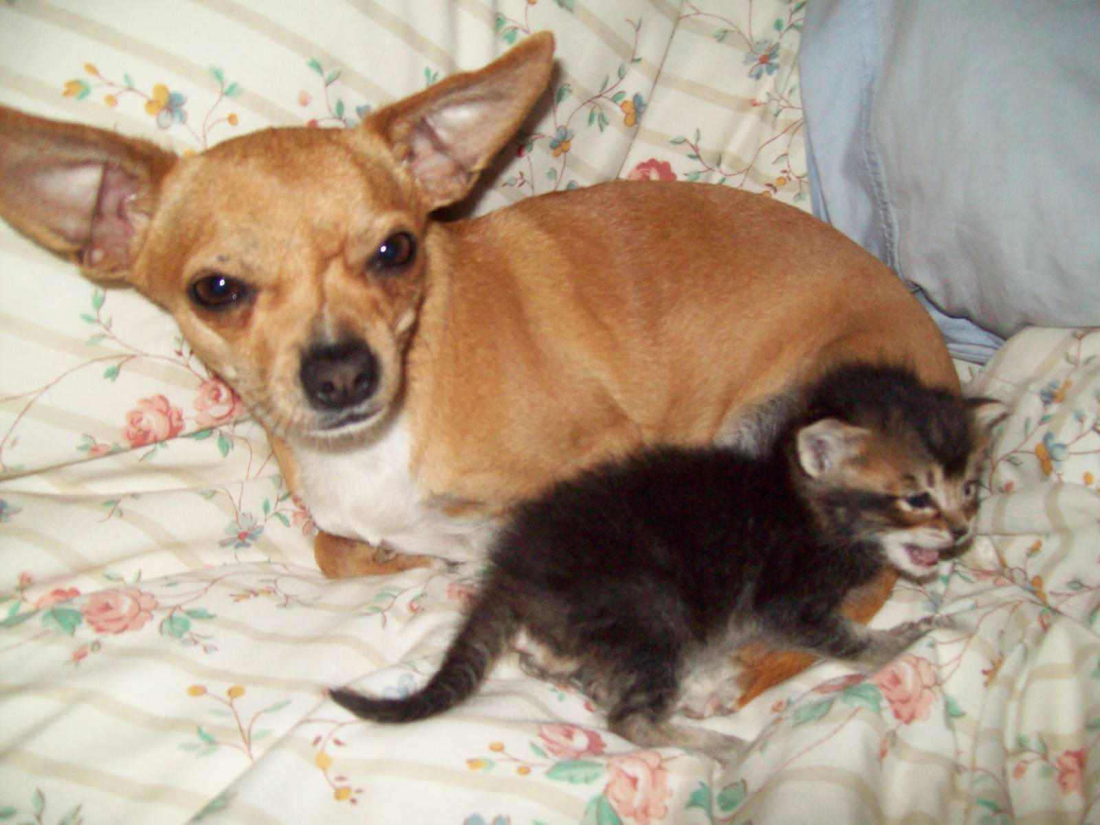 chihuahua and kitten !